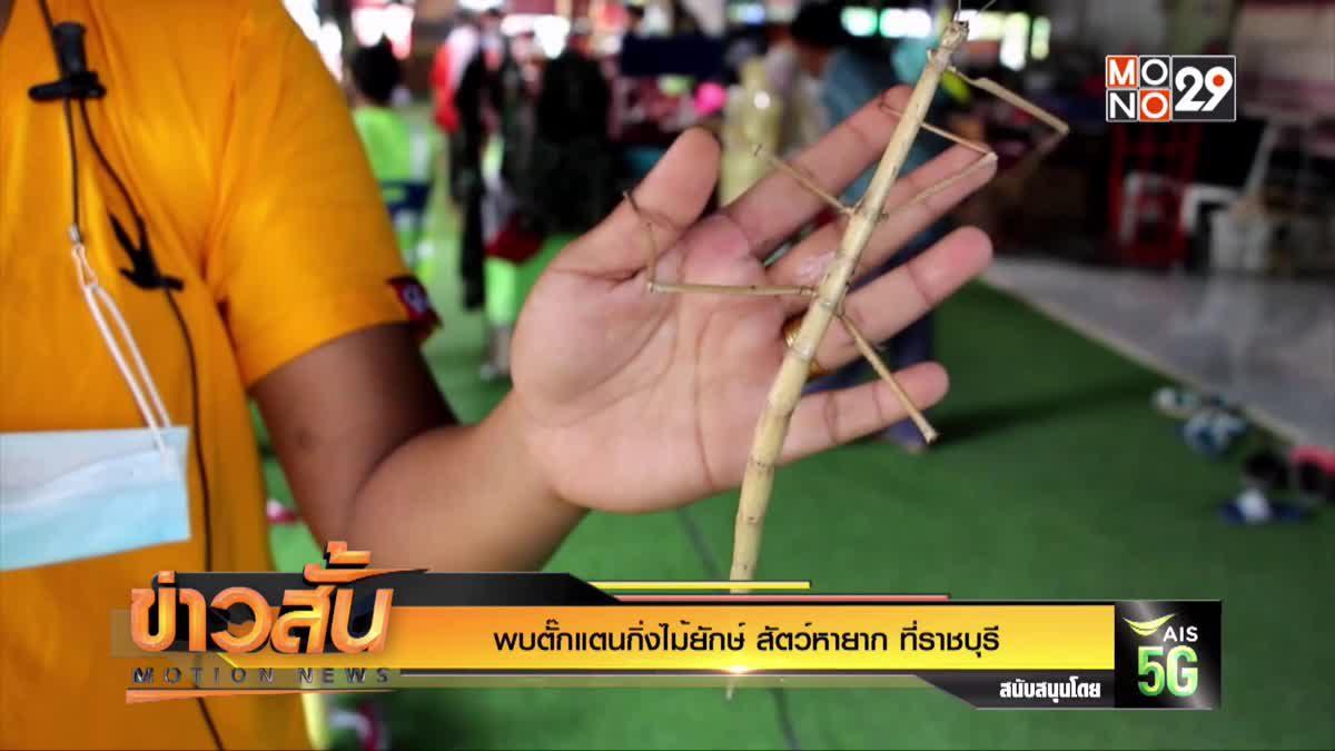พบตั๊กแตนกิ่งไม้ยักษ์ สัตว์หายาก ที่ราชบุรี