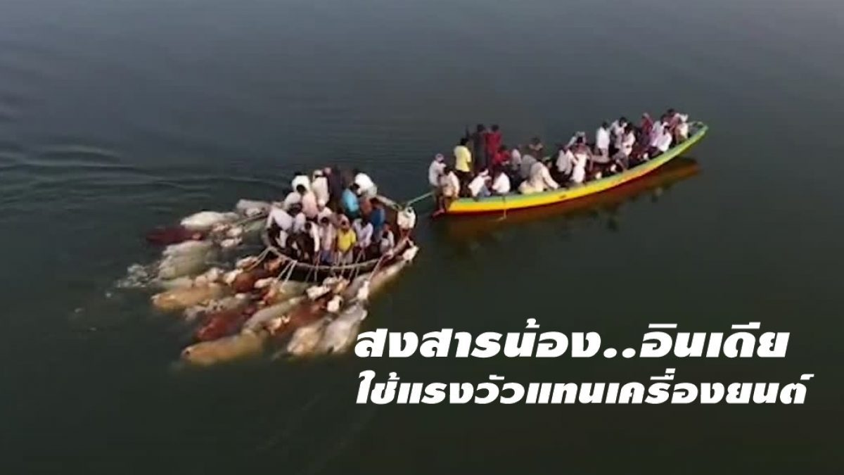 เล่นกันแบบนี้เลย! ชาวอินเดียใช้ฝูงวัวแทนเครื่องยนต์เรือ ในการพาข้ามแม่น้ำ