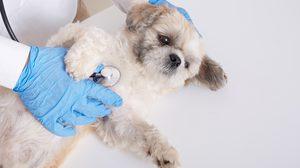 """คนรักน้องหมาควรรู้ไว้! """"โรคสะบ้าเคลื่อน"""" โรคยอดฮิตในสุนัข พบบ่อยในสุนัขพันธุ์เล็ก"""