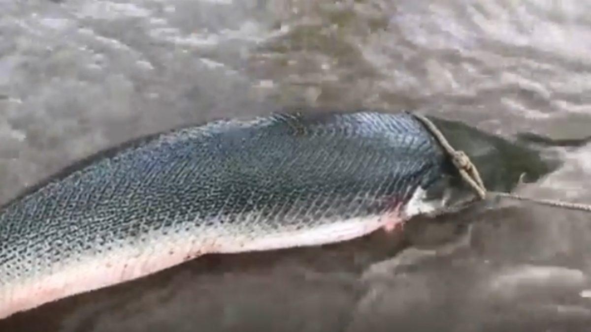 ตกไปตกมา! ผง่ะ เจอปลาอัลลิเกเตอร์ยักษ์ ยาวกว่า 8 ฟุต มาติดเบ็ด