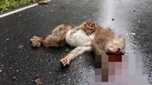 สลด! แม่ลิงถูกรถชนดับกลางถนน ลูกลิงโอบกอดศพแม่ไม่ห่าง