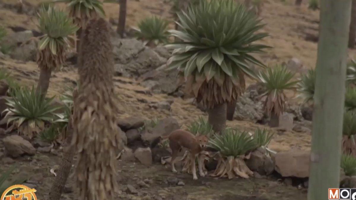 """ย้ายหมู่บ้านเพื่อ """"หมาป่าภูเขา"""" เอธิโอเปีย"""