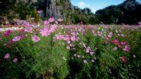 สวนดอกคอสมอส ทุ่งสิริสมัย บานสะพรั่งกลางเขาพระพุทธบาทน้อย จ.สระบุรี