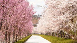 เรื่องที่ควรรู้ ก่อนเดินทางไปชม ซากุระ ที่ญี่ปุ่น!!