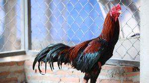 'มณีแดง' สุดยอดไก่ชนค่าตัวแพงสุดในโลก 22 ล้านบาท!
