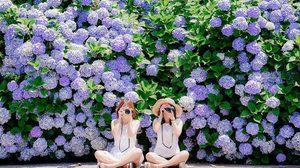 ดอกไฮเดรนเยีย เกาะเชจู เบ่งบานสดใส รับฤดูร้อนเกาหลี