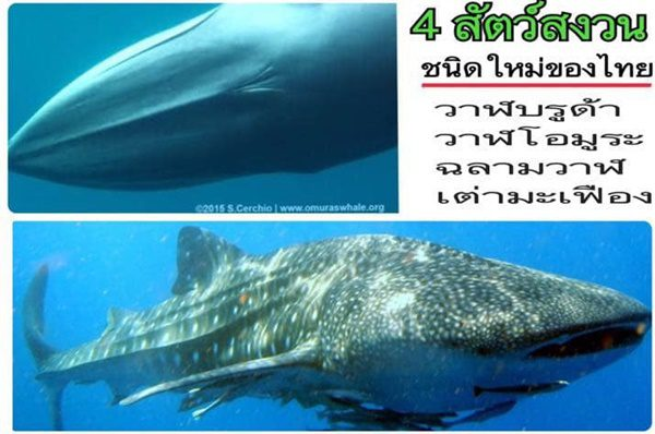 4 ปีที่รอคอย! 'เต่ามะเฟือง-วาฬบรูด้า-วาฬโอมูระ-ฉลามวาฬ' ลุ้นขึ้นทะเบียนเป็นสัตว์สงวน