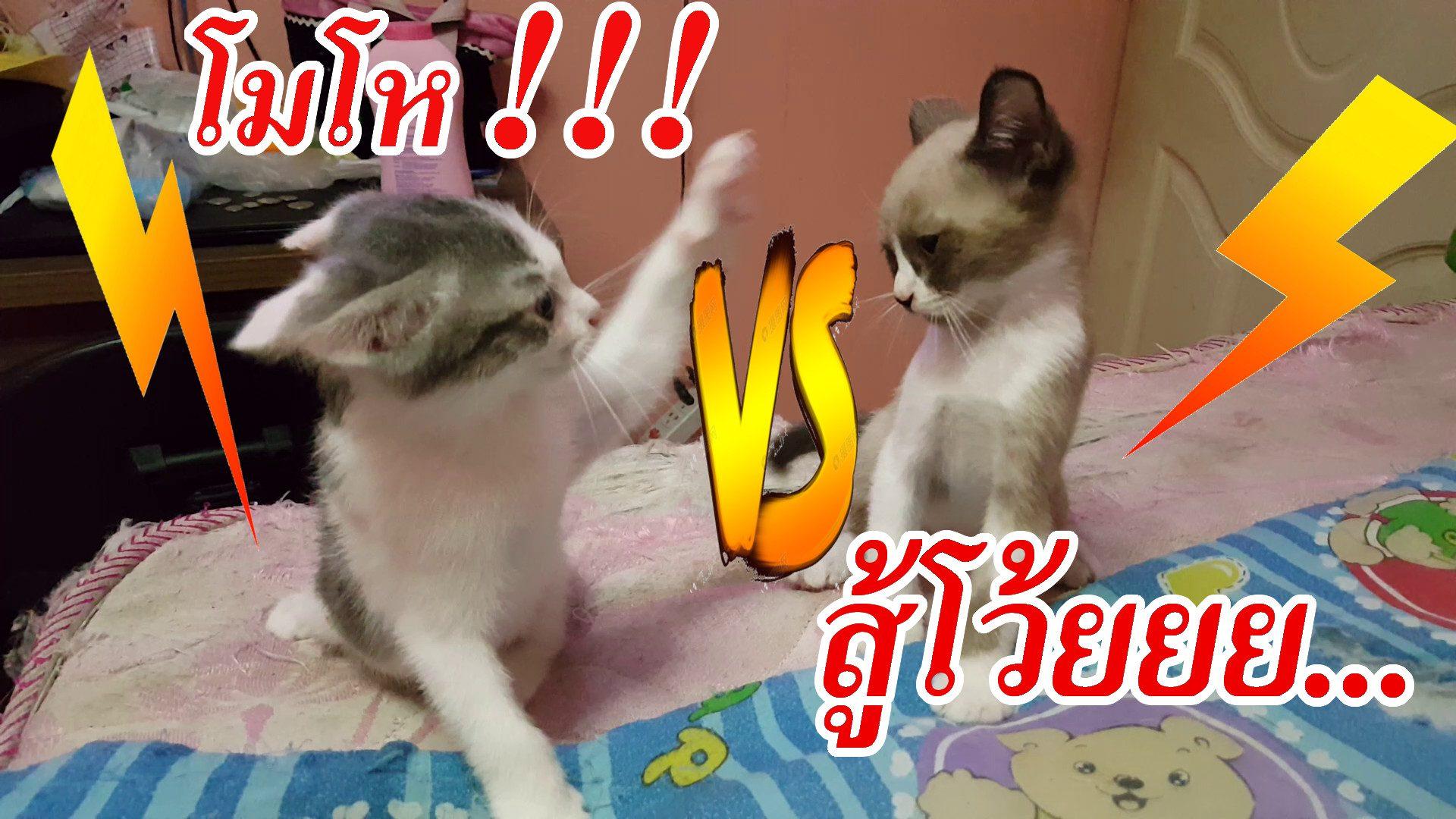 เกิดเหตุทะเลาะวิวาท !!! แมวต่อยมวย ขาวมณีผสมเปอร์เซีย | Namsomvlog