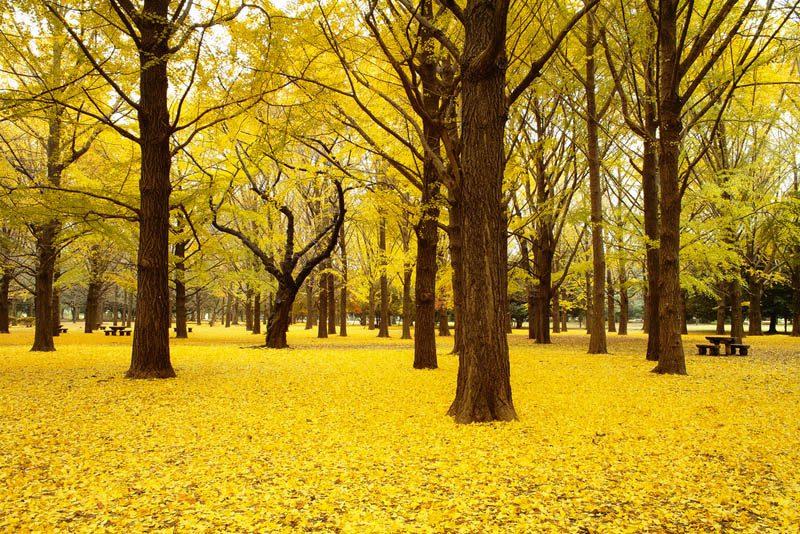 สวนโยโยกิ (Yoyogi Koen) สถานที่ ชมใบไม้เปลี่ยนสีที่ญี่ปุ่น