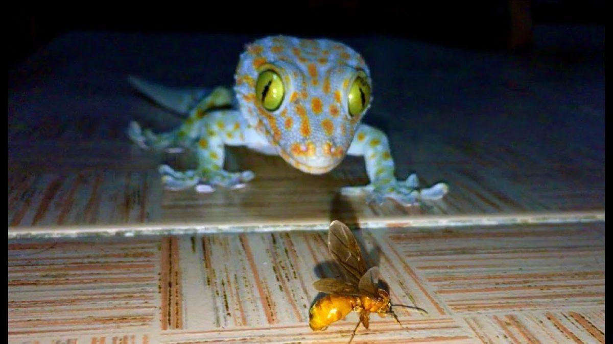ใครบอกว่าตุ๊กแกน่ากลัว แต่ตัวนี้เชื่องมาก / Cute gecko