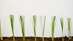 วิธีปลูกหญ้าแฝก เพื่อปรับปรุงดินดูดซับสารโลหะหนักและรักษาความชุ่มชื้น
