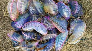 เรื่องน่ารู้เกี่ยวกับ แมงกระพรุน - ภาษาอังกฤษ Jellyfish