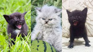รวมภาพ ลูกแมวโกรธ จากทั่วทุกมุมโลก เห็นตัวเล็กๆ แต่โหดเอาเรื่องนะ