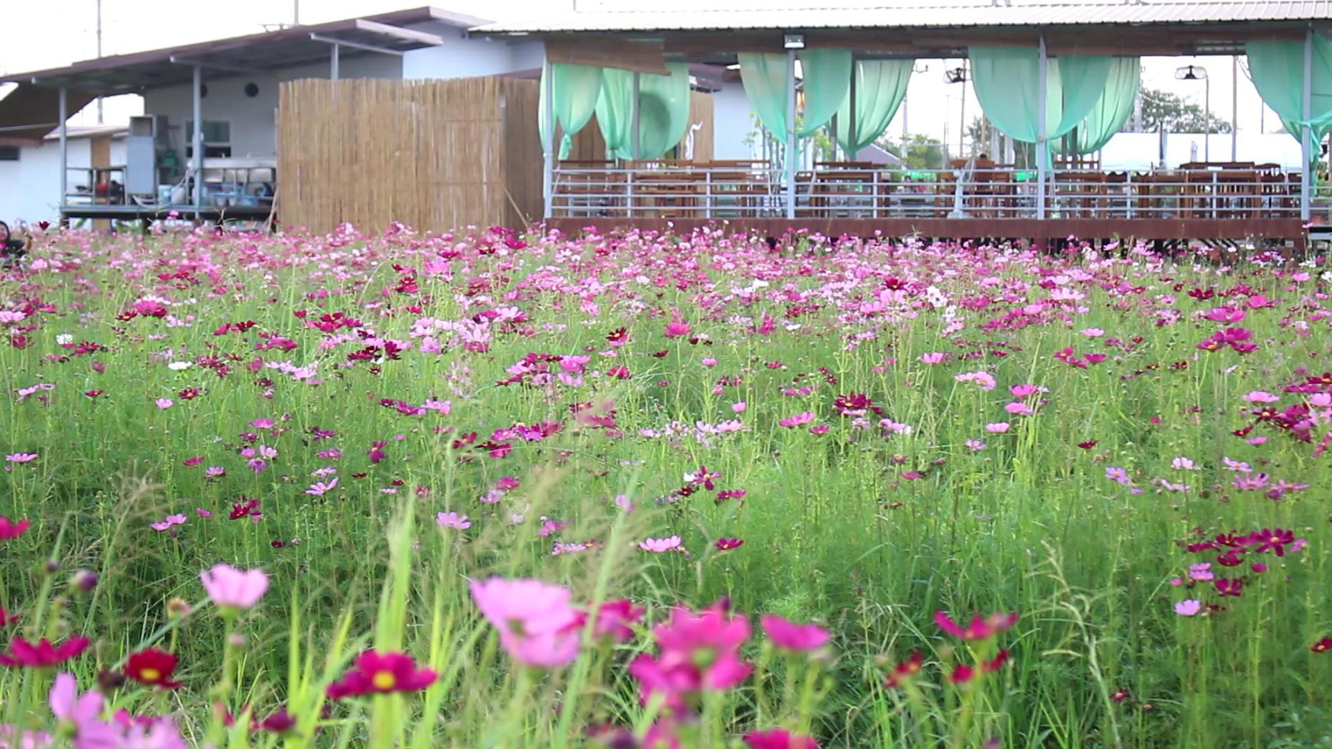 จิบกาแฟ ชิมขนมไทย ชมทุ่งดอกคอสมอส ณ บ้านภูมิจิต จ.ราชบุรี