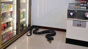 พี่เหลือมบุก! พนักงาน 7-11 ผวา งูเหลือมขนาดใหญ่เลื้อยเข้าร้าน