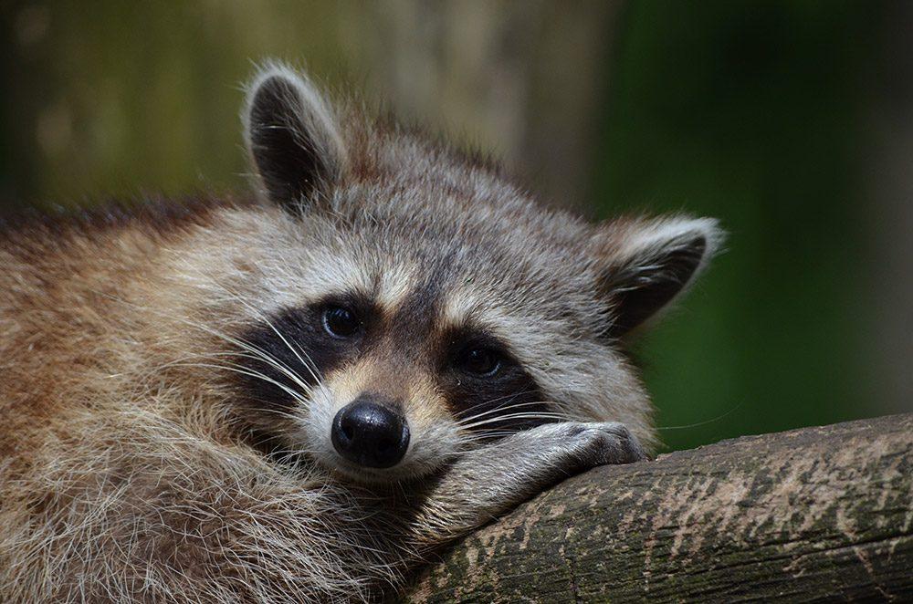 raccoon = ตัวแร็กคูน