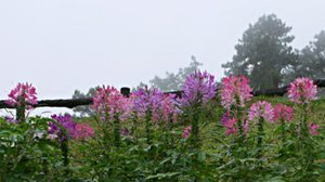 ดูดอกไม้สวย ณ จุดแวะชมวิวก่อนจะถึง ปาย