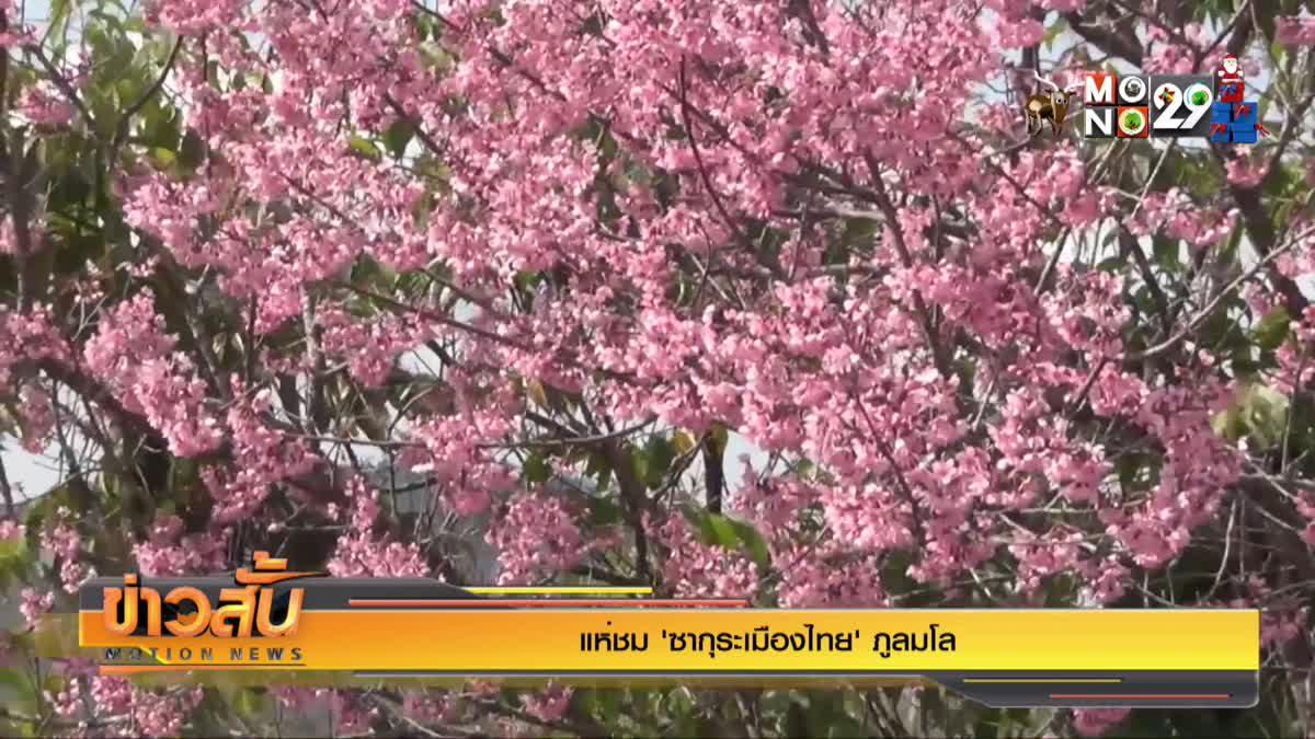 """แห่ชม """"ซากุระเมืองไทย"""" ภูลมโล"""