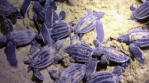 'อ.ธรณ์' โพสต์สุดปลื้มหลัง 'ลูกเต่ามะเฟือง' ฟักตัวที่หาดคึกคัก