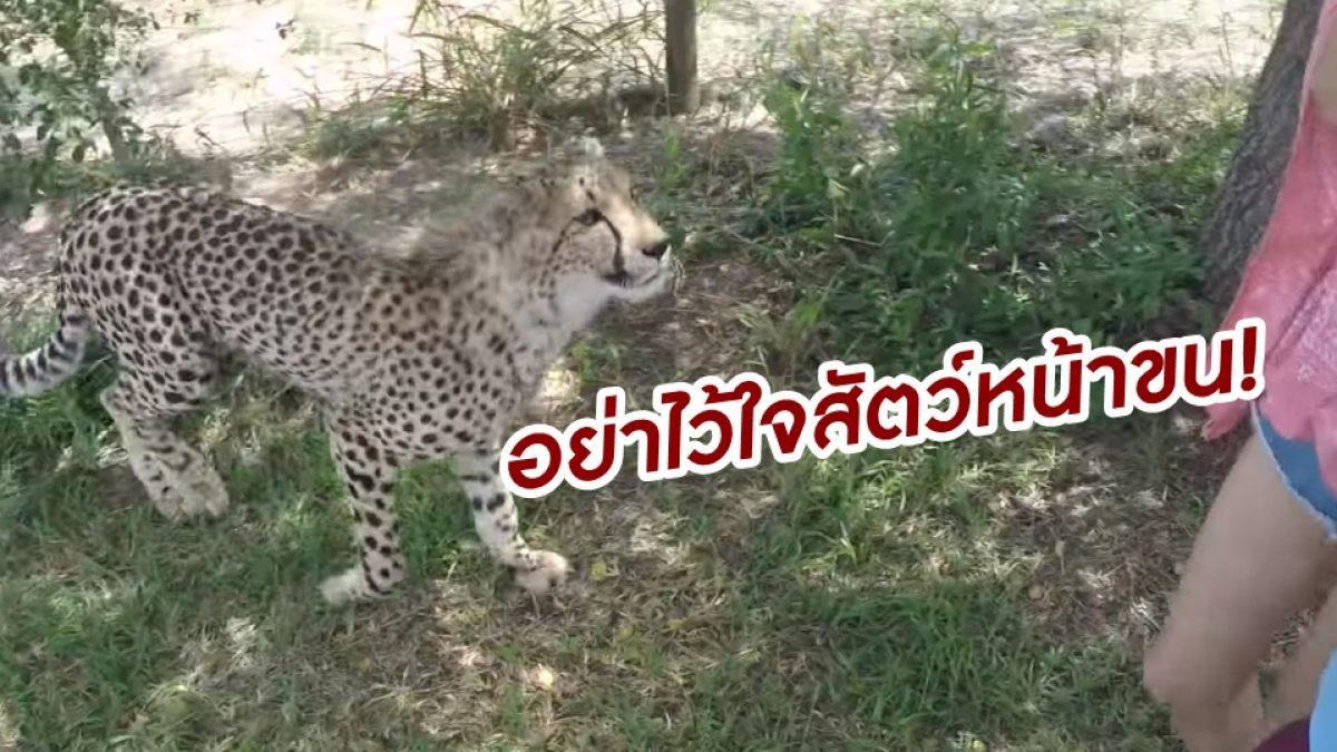 อย่าไว้ใจสัตว์หน้าขน! นาที เสือชีต้าห์ โดดขย้ำคอ นักท่องเที่ยวสาว ใน อุทยานแอฟริกา