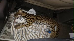 เจ้าหน้าที่ยึดซากแมวดาวคารถ คนขับอ้างรถคันหน้าชน จึงเก็บหวังนำไปกิน