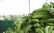 ใครได้ประโยชน์จาก…สวยกล้วยทุนจีน