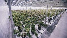 โรงงานผลิต กัญชา (ทางการแพทย์) ที่ใหญ่ที่สุดในโลก ณ ประเทศแคนาดา