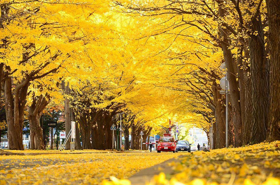 ถนนต้นแปะก๊วย อิโช นามิกิ (Icho Namiki), โตเกียว สถานที่ ชมใบไม้เปลี่ยนสีที่ญี่ปุ่น