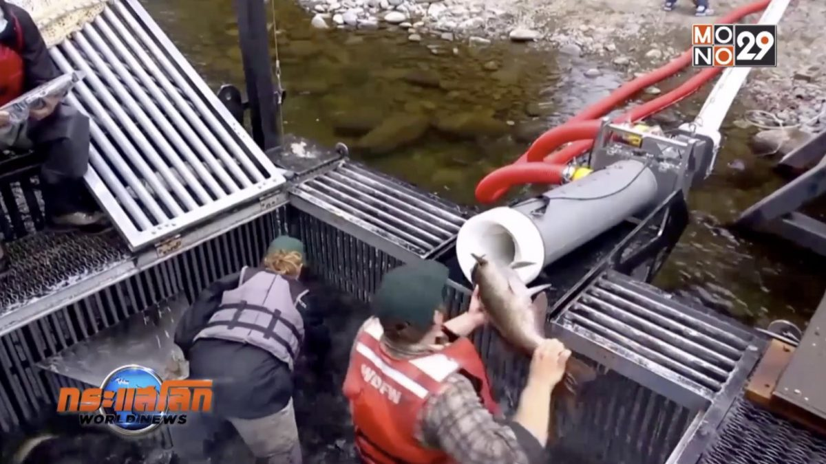 """""""ปืนใหญ่แซลมอน"""" ช่วยส่งปลากลับขึ้นไปวางไข่"""