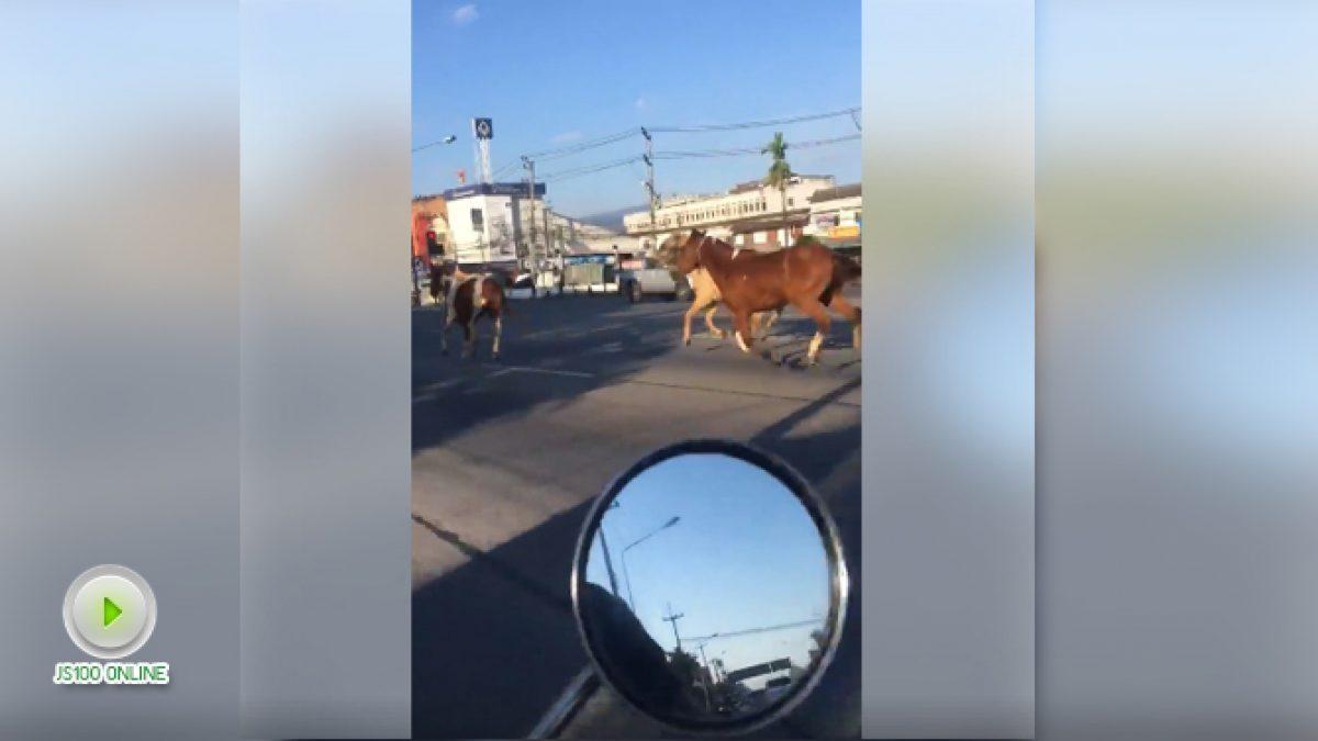 ม้าออกมาวิ่งบนถนนสายหลัก (06-12-60)