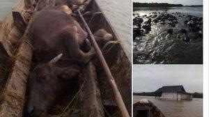 เกษตรกรวอนรัฐช่วย หลังควายน้ำทะเลน้อย ทยอยตายจากเหตุน้ำท่วม