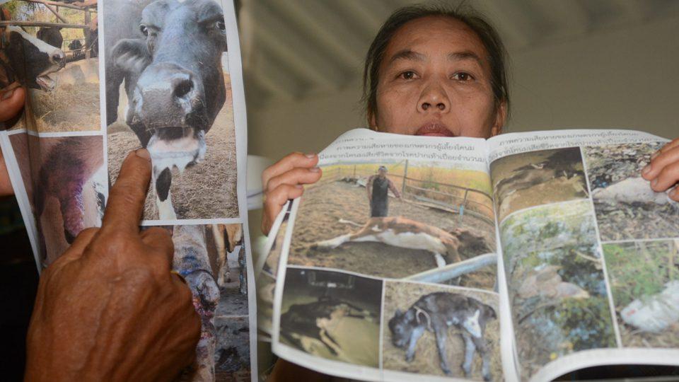 วัวป่วยโรคเท้า ปากเปื่อย ระบาดหหนัก อ.มวกเหล็ก