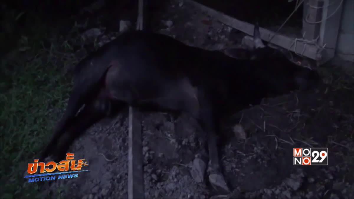 วัวชนชาวบ้านตายปริศนา 5 ตัวที่ จ.พัทลุง