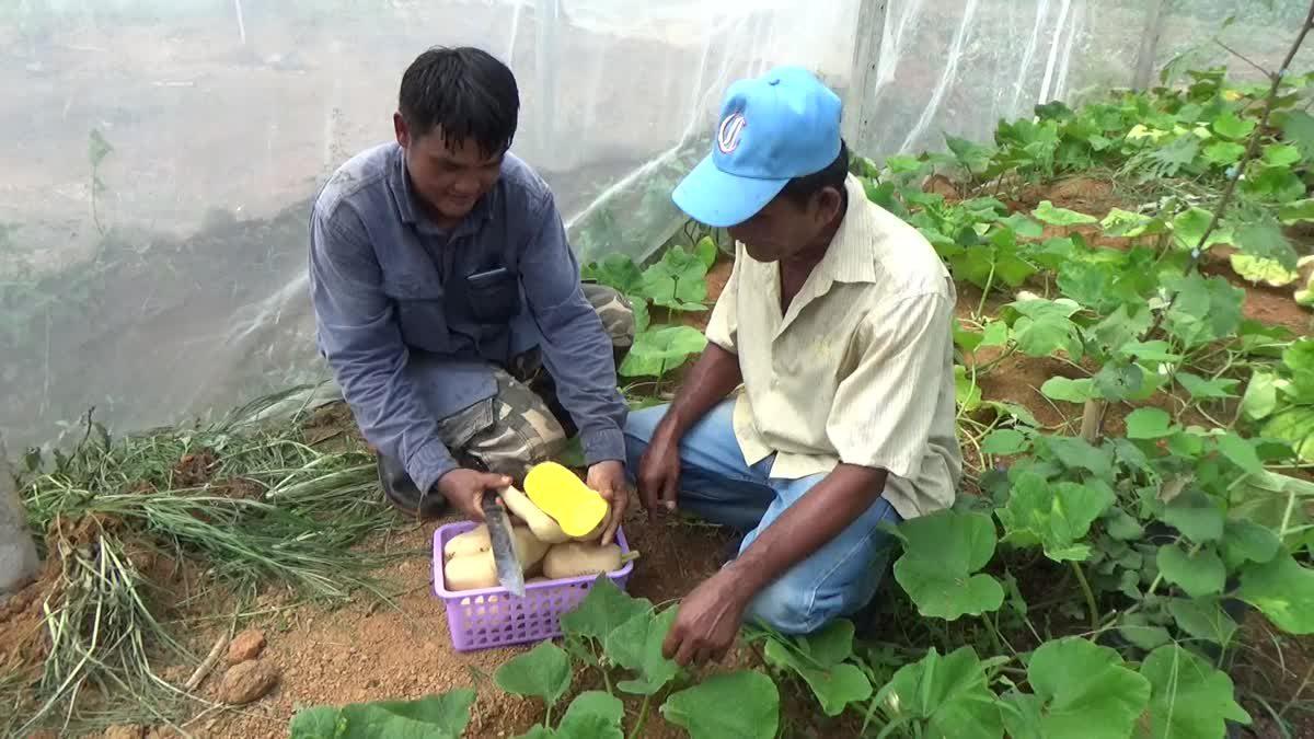 เกษตรกรเมืองตรังปลูก 'บัตเตอร์นัท' สำเร็จเป็นรายแรกในภาคใต้