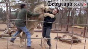 ระทึก! นักข่าวหนุ่มถูกสิงโตไล่ตะปบ ขณะเข้าไปในกรงถ่ายสารคดี