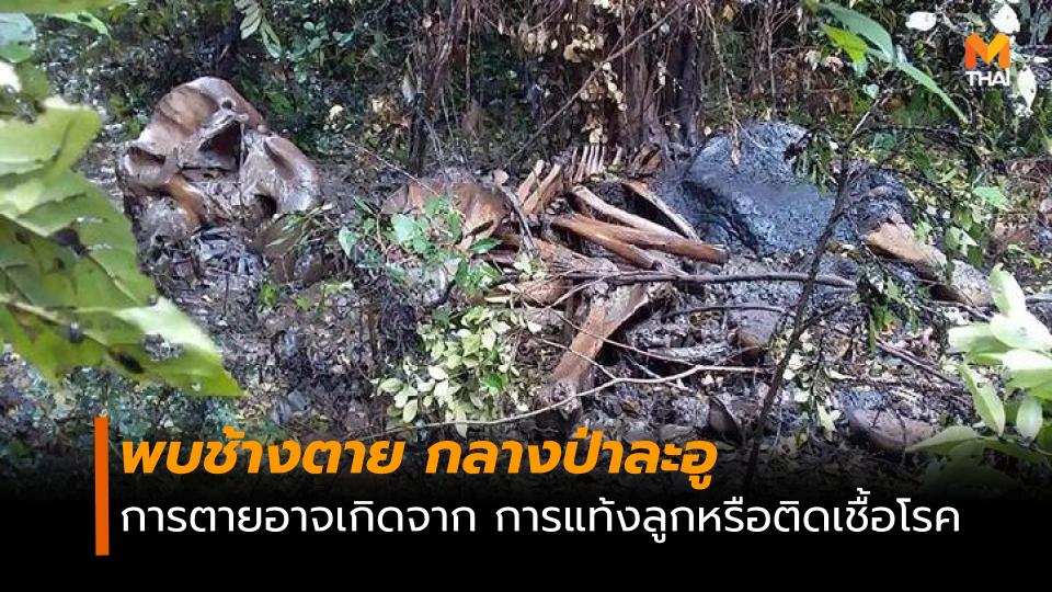 พบช้างตายในพื้นที่ติดกับป่าละอูบน คาดอาจเกิดจากการแท้งลูก