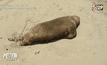 พบสิงโตทะเลหลายสิบตัวเกยตื้นในชิลี