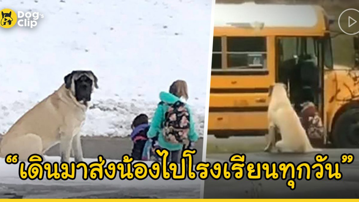 พี่หมาตัวโตเดินมาส่งน้องสาวขึ้นรถโรงเรียนเป็นประจำทุกๆ เช้า
