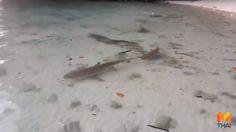 ตื่นตา!! พบ 'ฉลามหูดำ' กว่า 10 ตัว ริมหาดเมืองกระบี่
