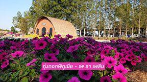 ทุ่งดอกพิทูเนีย บุรีรัมย์ - เพ ลา เพลิน