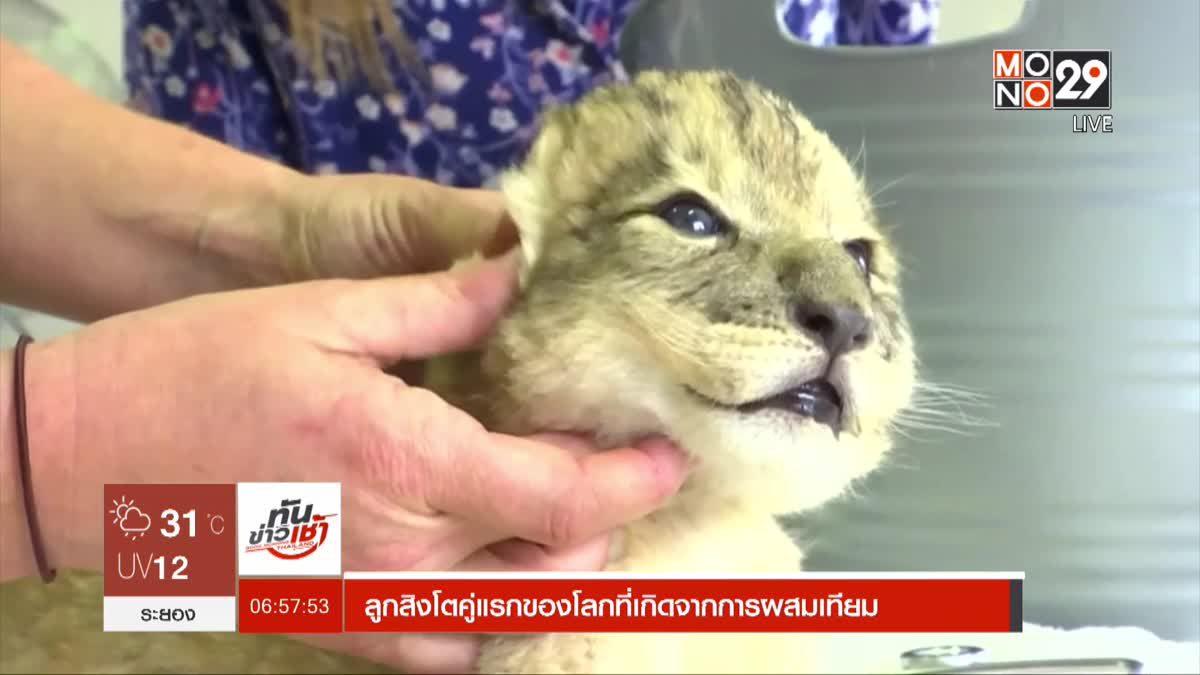 ลูกสิงโตคู่แรกของโลกที่เกิดจากการผสมเทียม