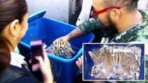 ทำไปได้!! พบลูก เสือโคร่ง วัย 2 เดือนถูกจับยัดใส่กล่อง และส่งผ่านไปรษณีย์ในเม็กซิโก