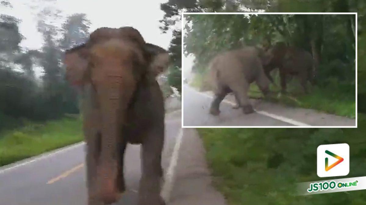 คลิปช้างป่าตกมัน เดินขวางอยู่ในเส้นทางสัญจรสายหนองพลับ-ห้วยสัตว์ใหญ่ ช่วงกม.19-20 จนท.จัดชุดเฝ้าระวังผลักดันเข้าป่าแล้ว (01-10-61)