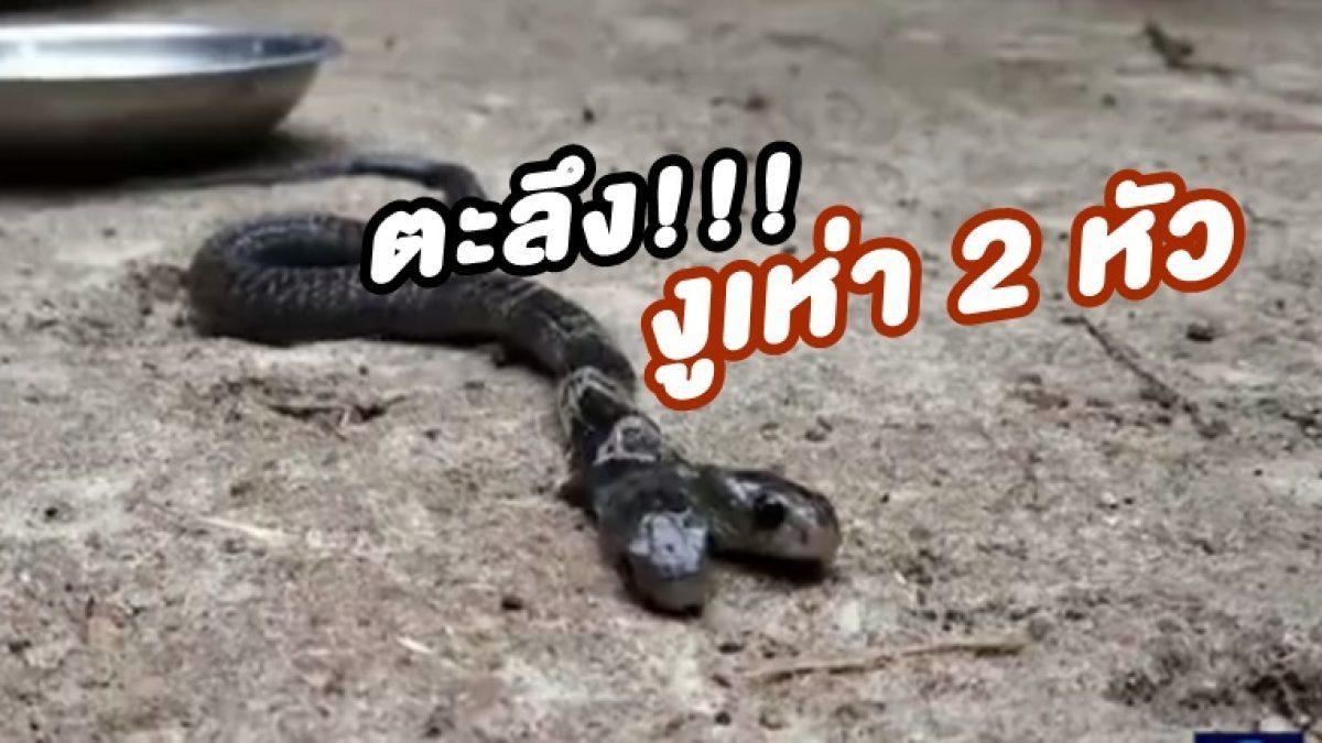 ไม่เชื่อก็ต้องเชื่อ! งูเห่า 2 หัว มีอยู่จริง ในอินเดีย ยาว 1 ฟุต 2 นิ้ว