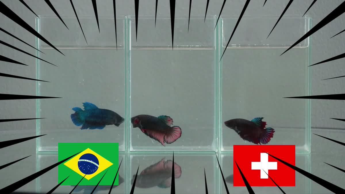 ซี้ซั้วเอามาเล่า น้องปลากัดฟันธง ฟุตบอลโลก 2018 EP3