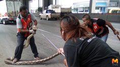 กู้ภัยตามจับวุ่น! งูเหลือมยักษ์เลี้อยเข้าช่องทางด่วนถ.พหลโยธิน