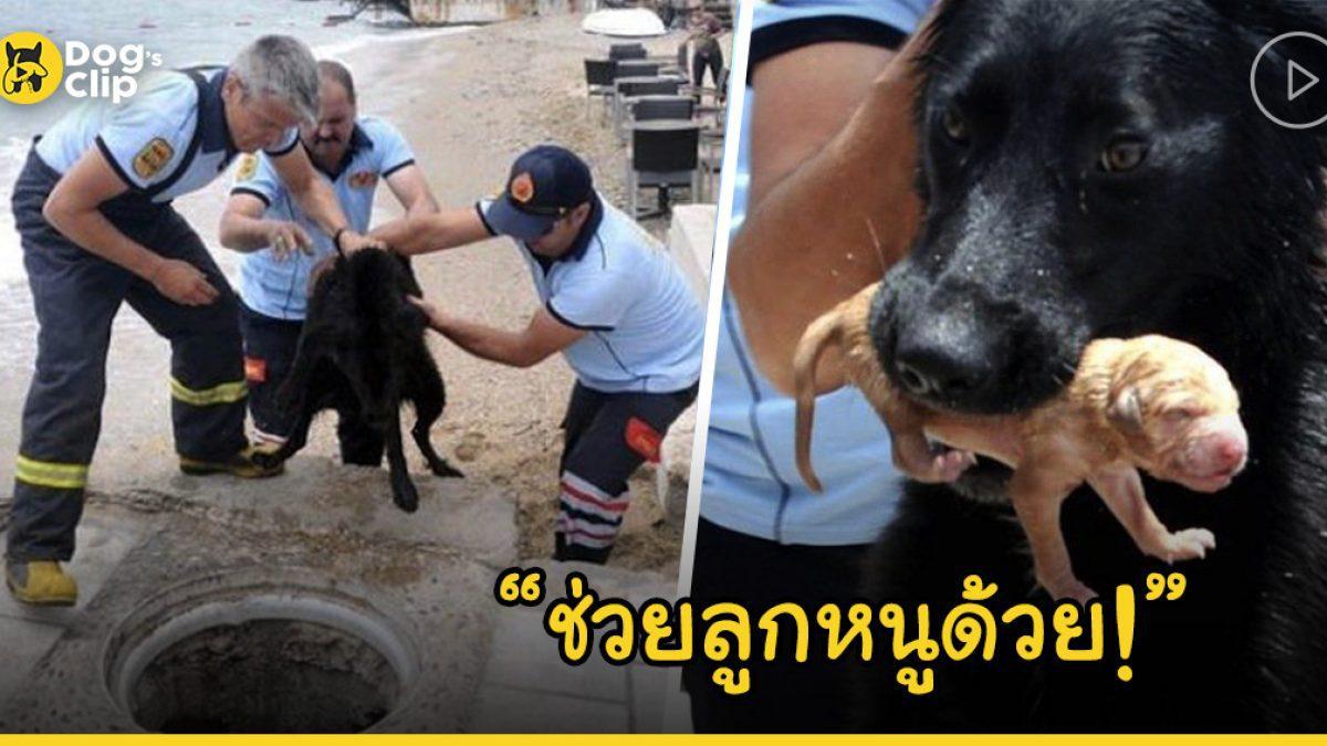 แม่หมาทำงานร่วมกับเจ้าหน้าที่กู้ภัยเพื่อช่วยชีวิตลูกน้อยของเธอจากท่อระบายน้ำ