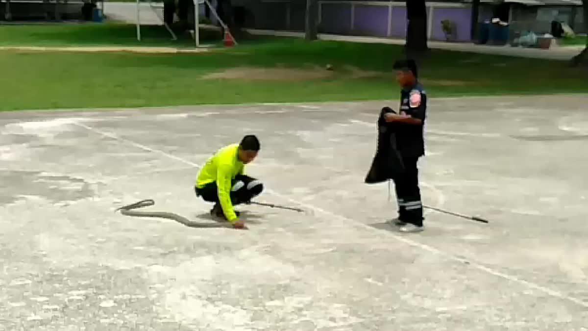 ครูนักเรียนแตกตื่น งูจงอางโผล่กินงูเล็กกลางโรงเรียน