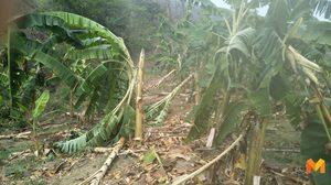 สุดช้ำ!! เกษตรกรปลูกกล้วยหอมทองปีแรก เจอพายุถล่มเสียหายทั้งสวน