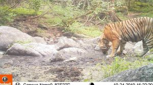 ตื่นตา! เสือ และสัตว์ป่าหายาก โผล่หากินในเขตรักษาพันธ์ุฯ ห้วยขาแข้ง